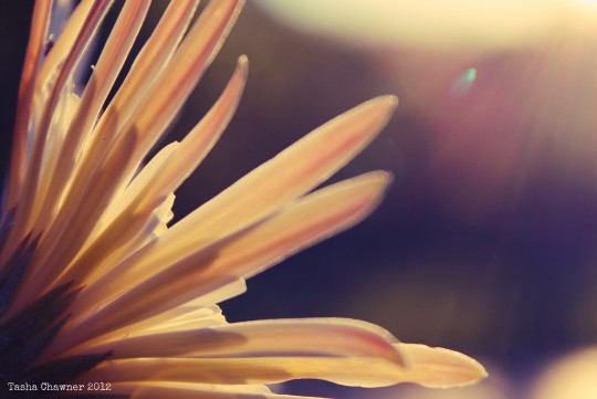 Gerbera at Golden Hour 540x361 Wordless Wednesday