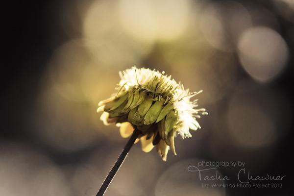 paper-daisy-light