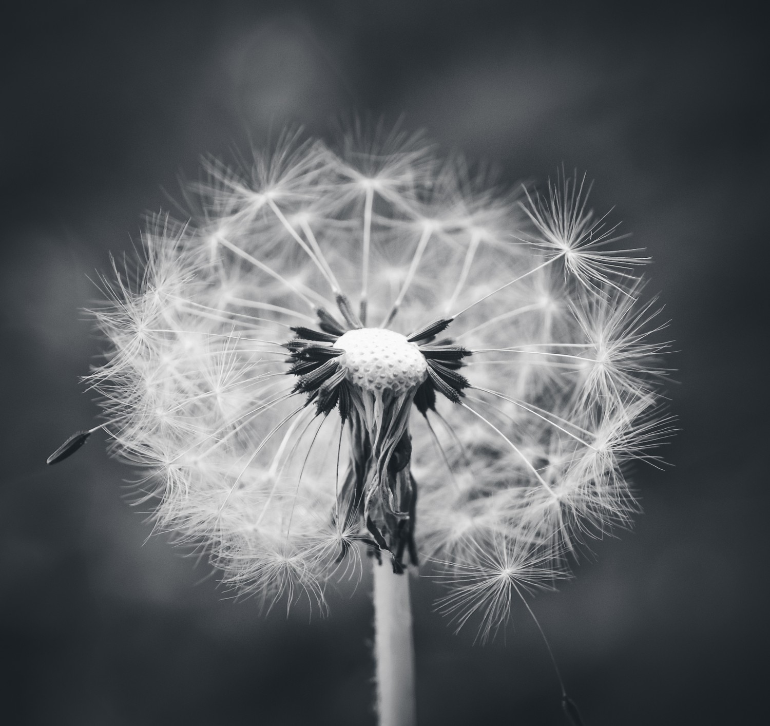 Black & White Dandelion - dandelions... an eternal source of beautiful photographs