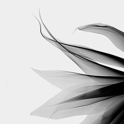 Agave+(Agavaceae)