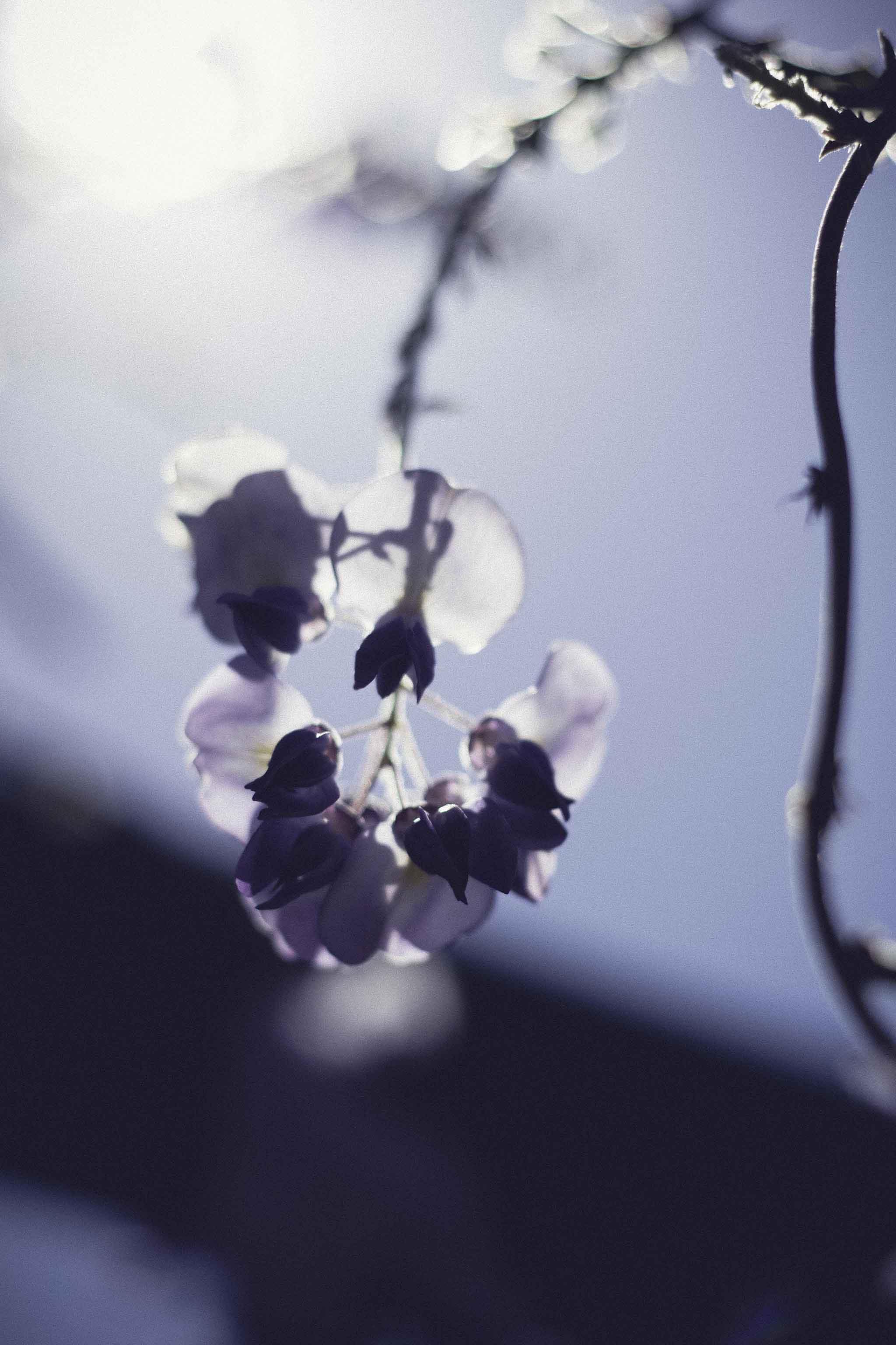 purple-wisteria-flower