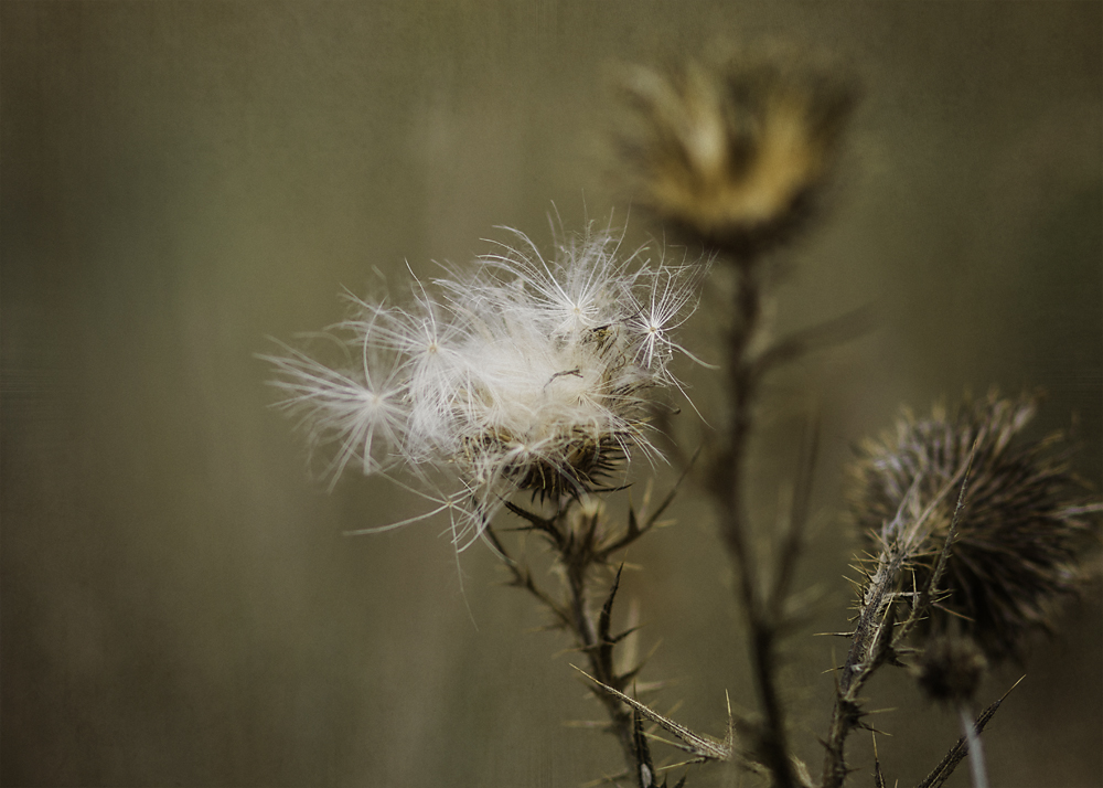 dying thistle - photography by tasha chawner