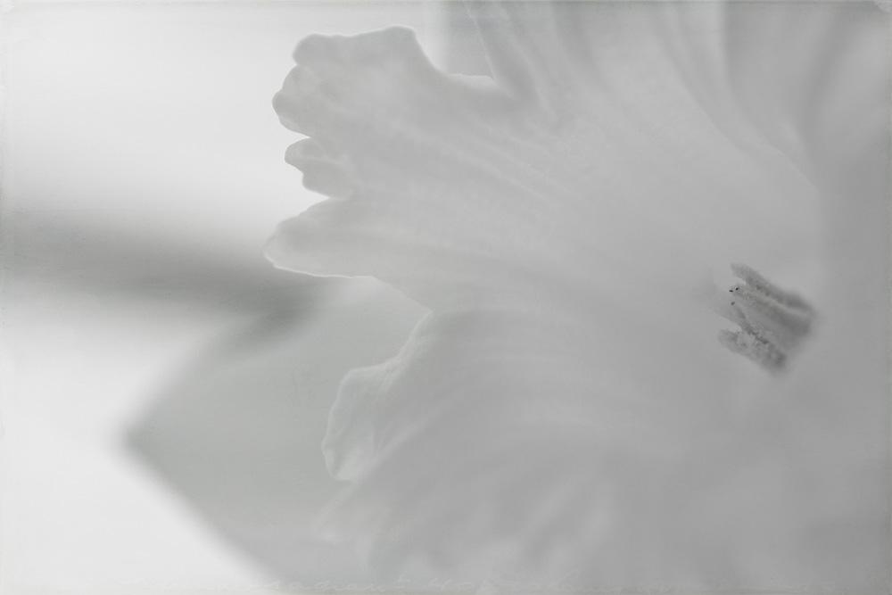 daffodil-high-key-1
