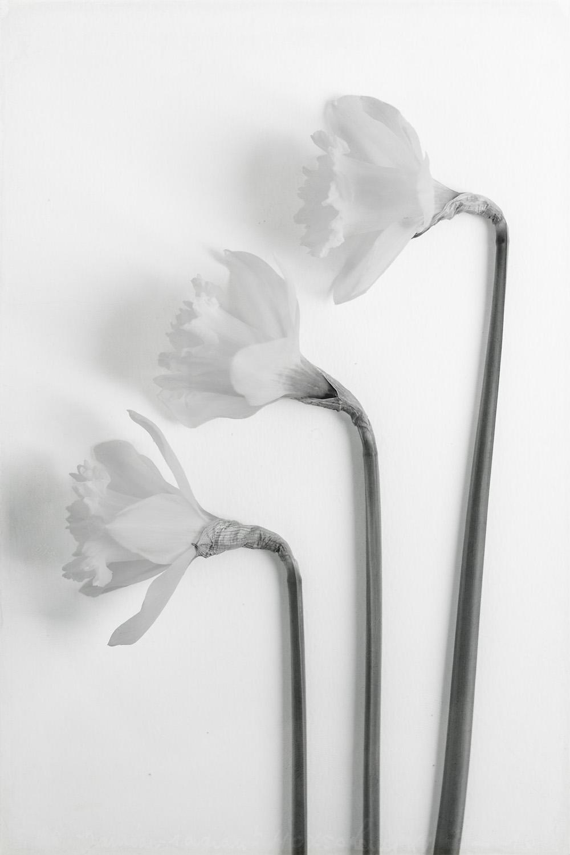 daffodil-high-key-4 copy