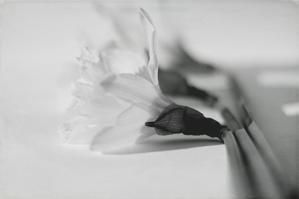 daffodil-high-key-5