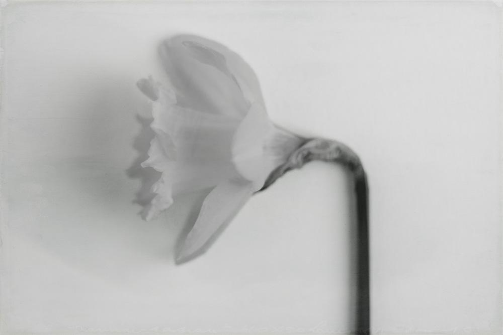 daffodil-high-key-6