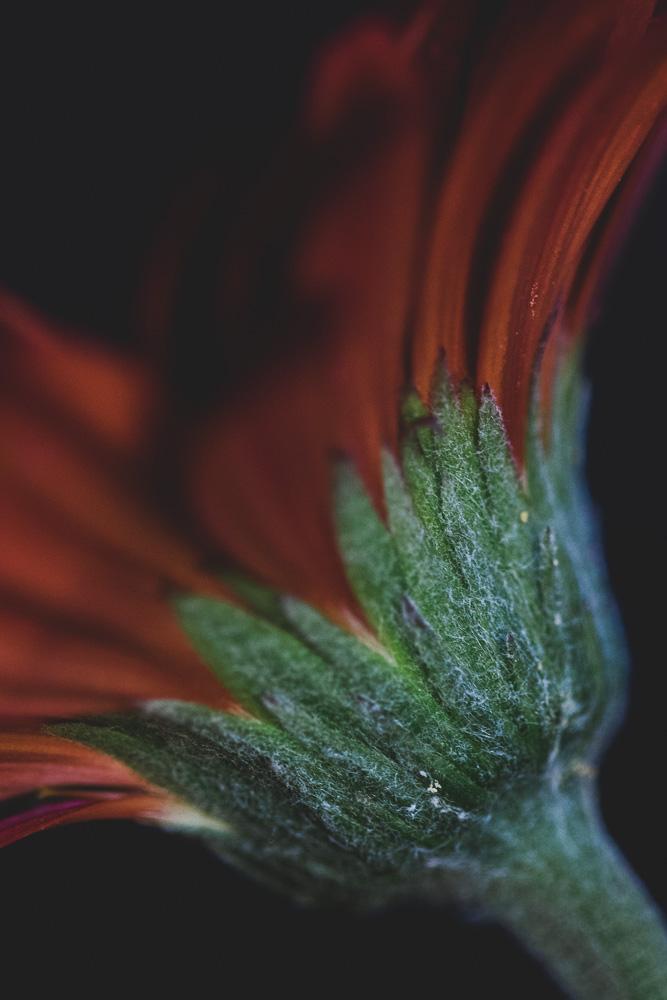 red gerbera bloom