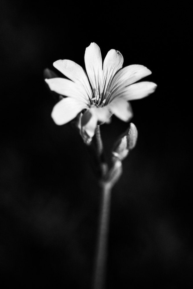 moody black and white photo of wildflower by photography by tasha chawner