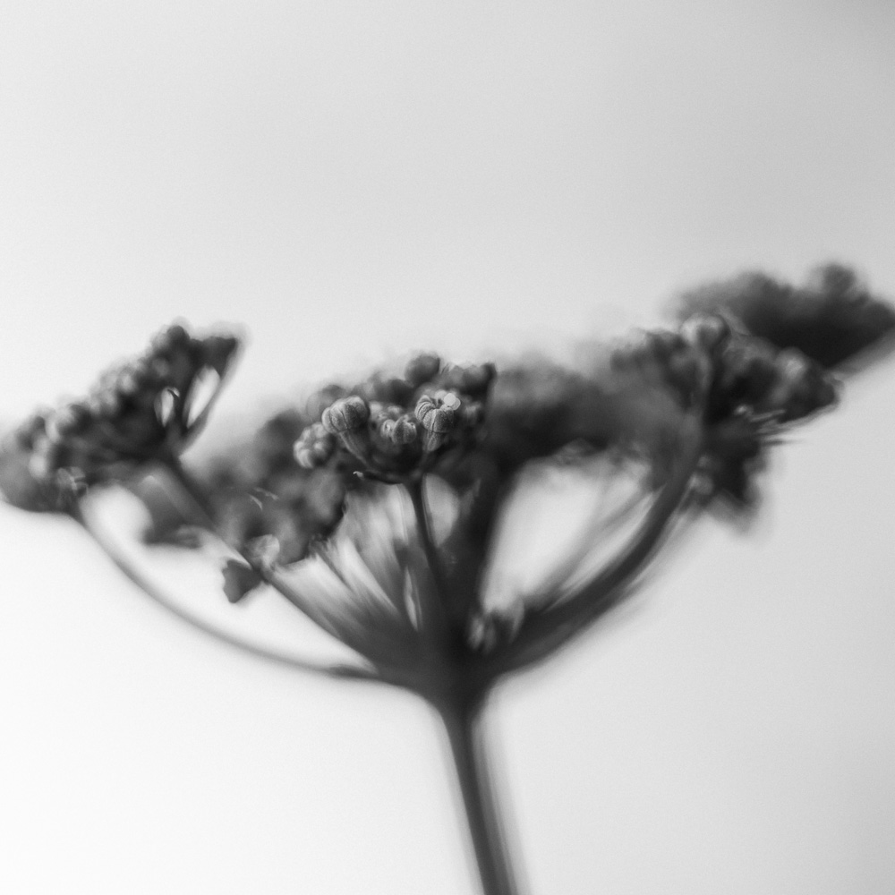 black and white photo of parsley flowers
